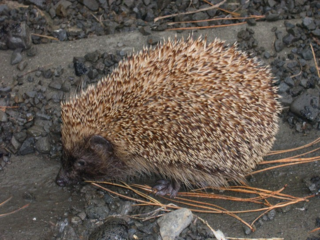 Hedgehog_w725_h544